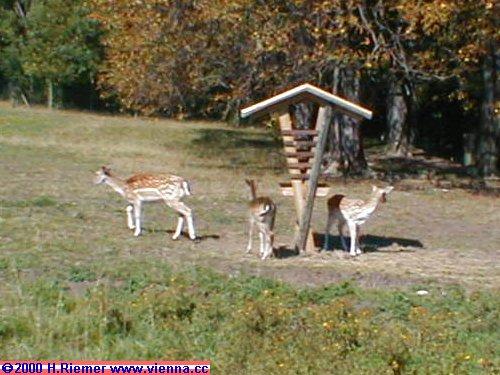Lainzer Tiergarten Vienna Jagd im Lainzer Tiergarten
